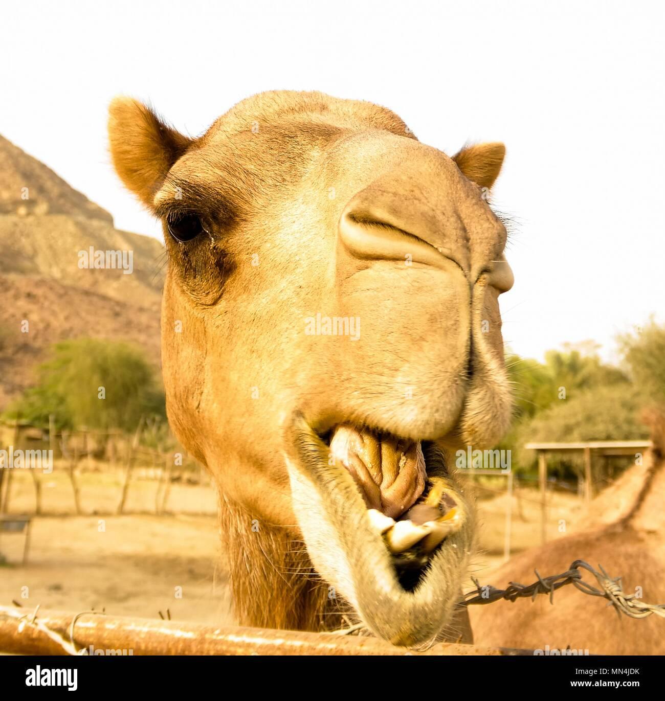 Retrato de gracioso cabeza de camello en Sharjah, Emiratos Árabes Unidos Foto de stock