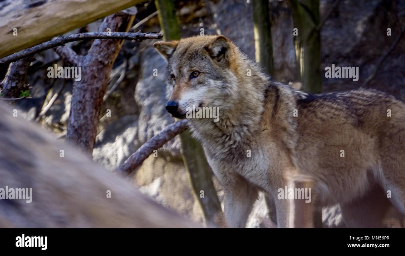 Tiro De Alta Distancia De Una Manada De Lobos Lobos Salvajes En Los