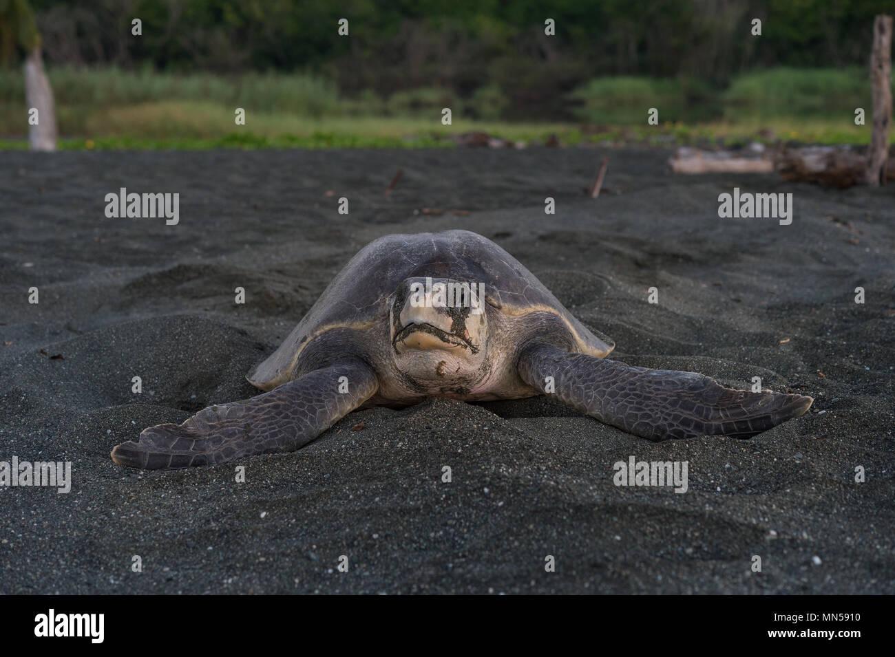 Verde tortuga golfina, Lepidochelys olivacea, durante el desove, Cheloniidae, Carate Playa, Parque Nacional Corcovado, Costa Rica, Centroamérica Imagen De Stock