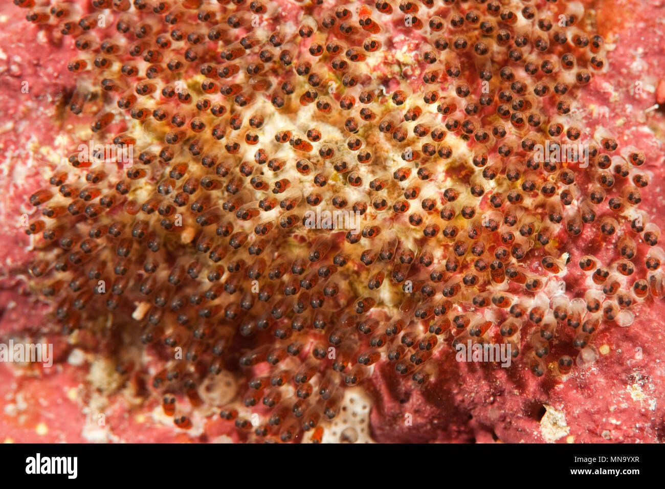 El pez payaso     Anemonenfisch Amphiprion clarkii Foto de stock