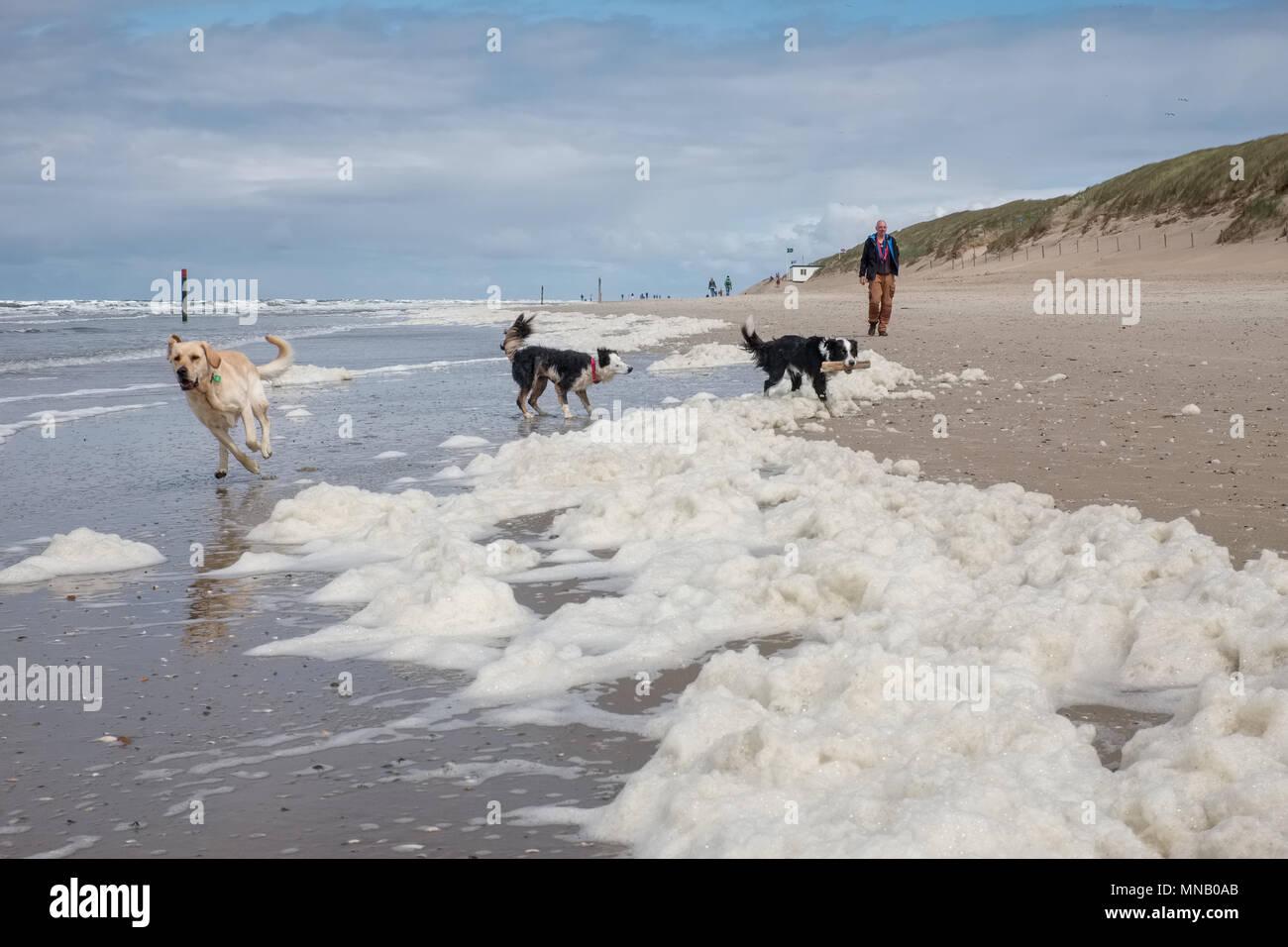 Tres perros jugando en una playa cubiertos de algas, el domingo 15 de mayo de 2016, Texel, en los Países Bajos. Foto de stock