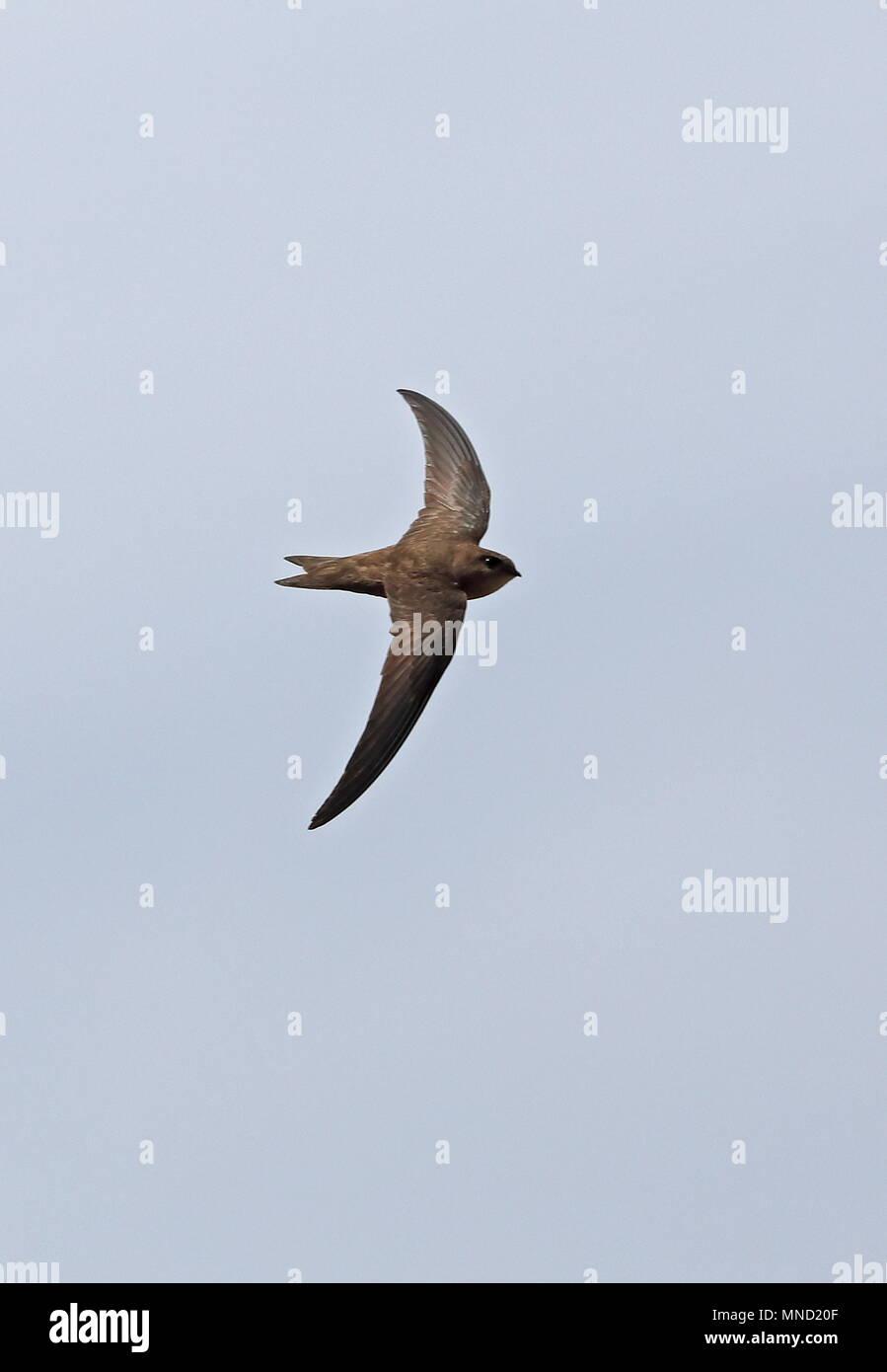 Alexanders Swift (Apus alexandri) adulto en vuelo de la Isla de Santiago, Cabo Verde Abril Imagen De Stock