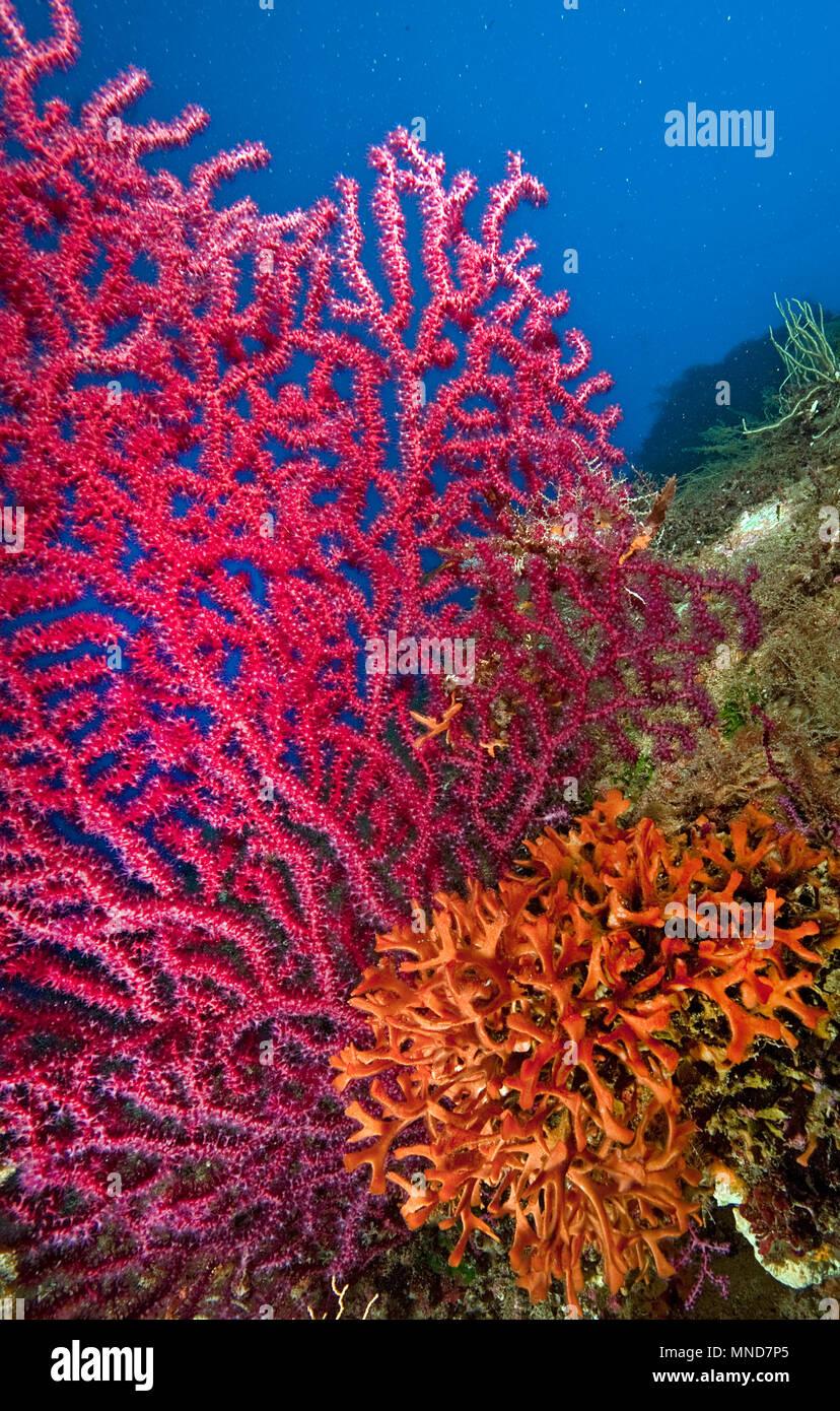 Abanico rojo coral en el Mediterráneo |Rote Fächerkoralle im Mittelmeer | (Paramunicea clavata) Foto de stock