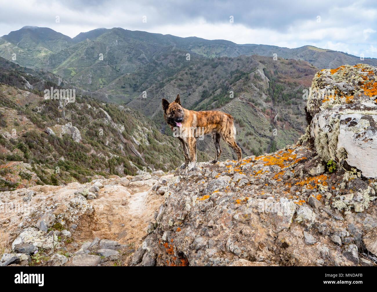 Perro Pastor utilizan para custodiar los rebaños de cabras en las montañas más altas de La Gomera en las Islas Canarias Foto de stock