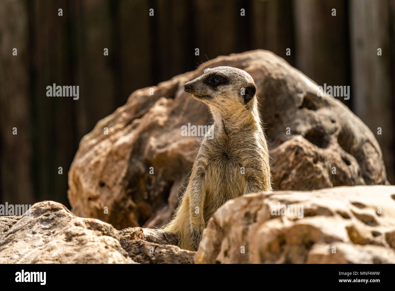 Esbelto-tailed Suricata suricata o en busca de peligro. Imagen De Stock