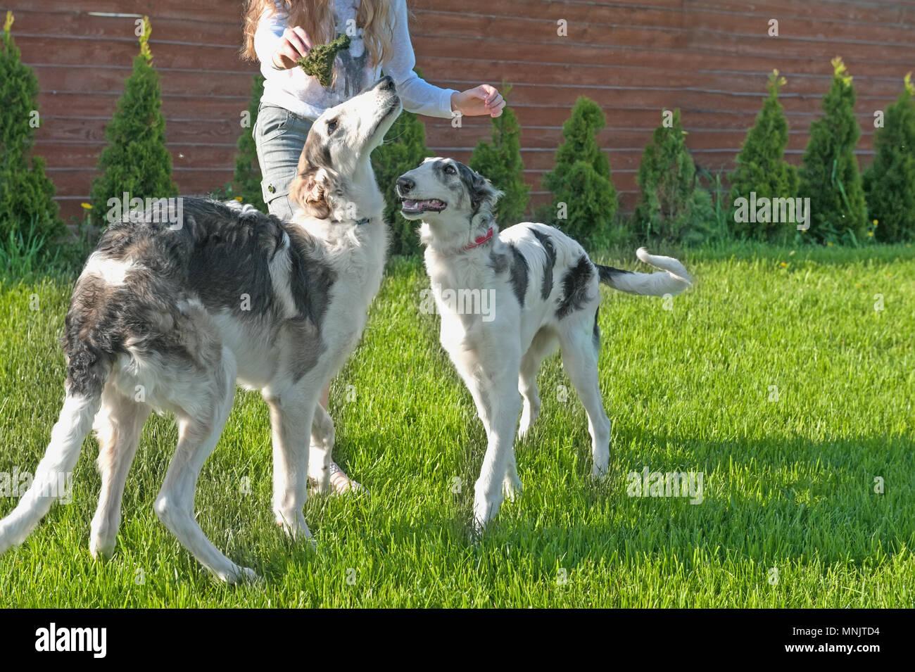 Niña jugando con dos perros de raza Borzoi ruso. Copie el espacio. Foto de stock