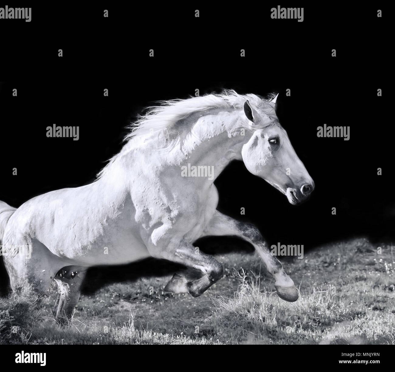 Ejecutando gris semental Andaluz Imagen De Stock