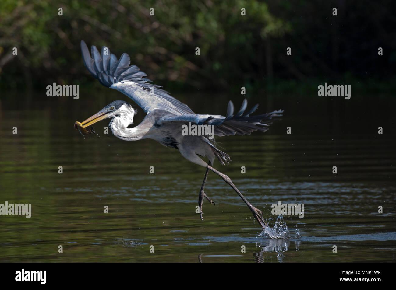 Cocoi (de cuello blanco), la garza real (Ardea cocoi) capturar un pez en el Pantanal, en el sur de Brasil Foto de stock