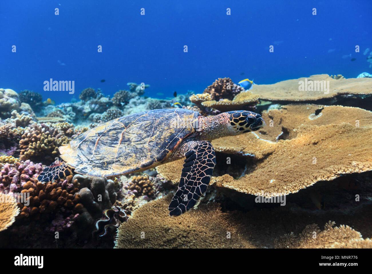 La tortuga carey bucear entre los arrecifes de coral Imagen De Stock