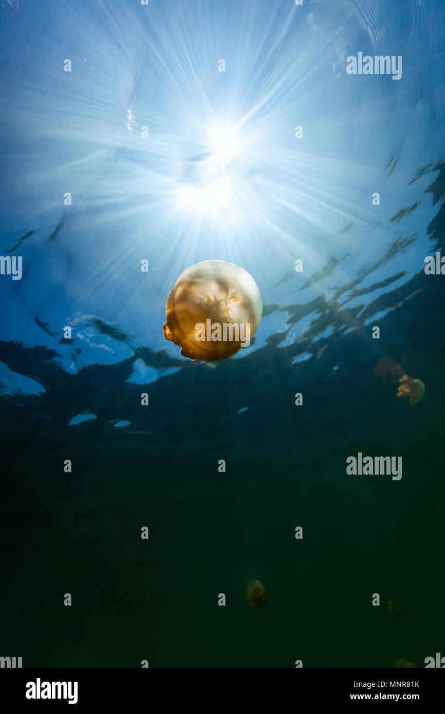 Fotografía submarina de especies endémicas de golden medusas en el lago en el Palau. Snorkeling en Jellyfish Lake es una actividad muy popular para los turistas a Palau. Imagen De Stock