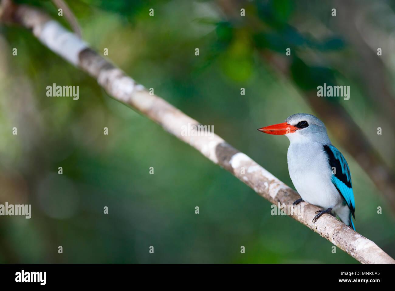 Kingfisher en Mozambique, África Imagen De Stock