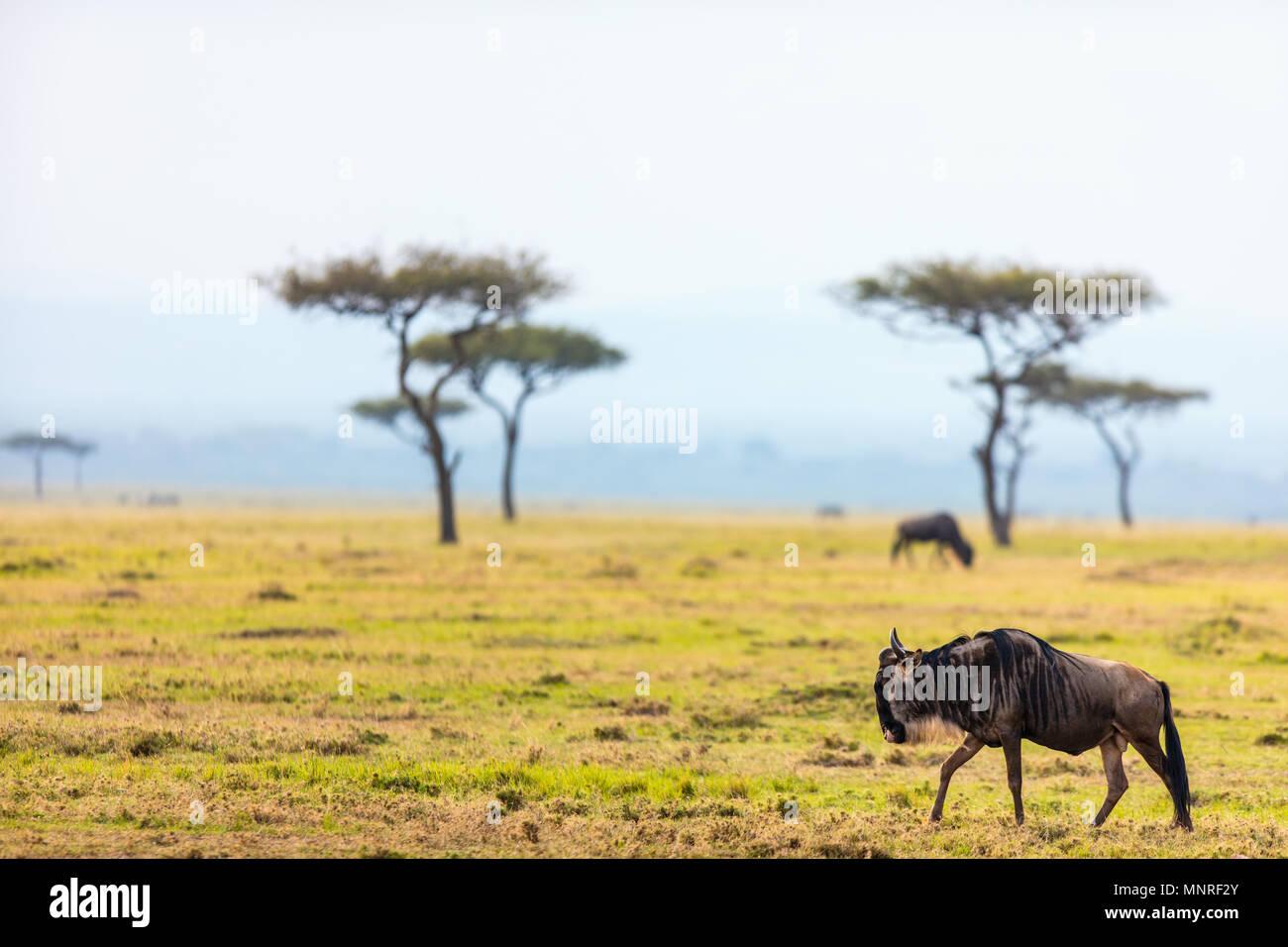 Los ñus en el parque nacional de Masai Mara en Kenya Imagen De Stock