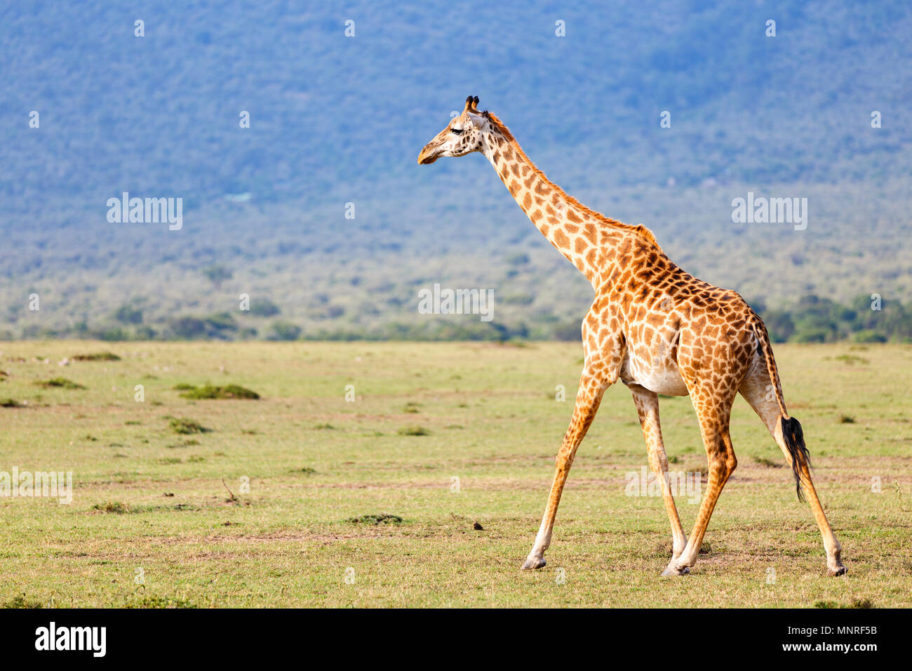 Jirafa en Masai Mara el parque safari en Kenia África Imagen De Stock