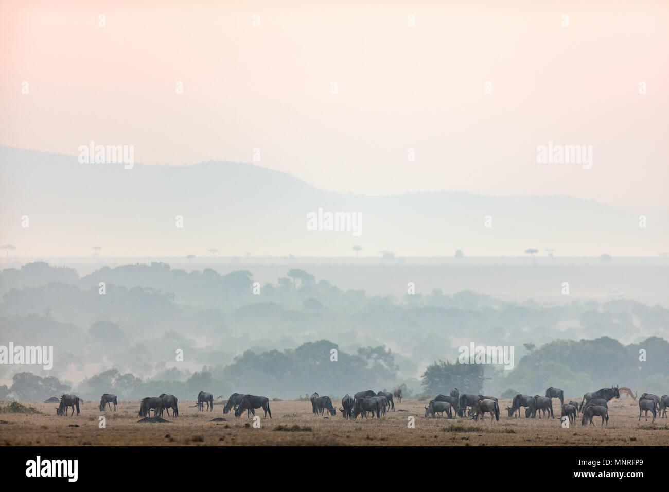 Los ñus muy temprano en la mañana en Masai Mara, Kenya Imagen De Stock