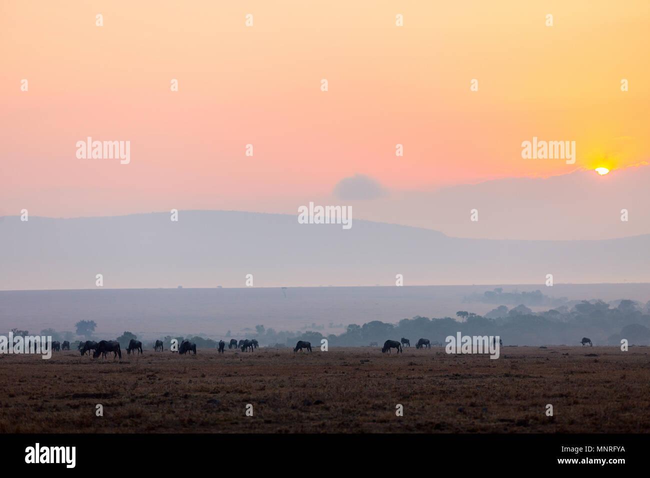 Los ñus muy temprano en la mañana en Masai Mara, Kenya Foto de stock