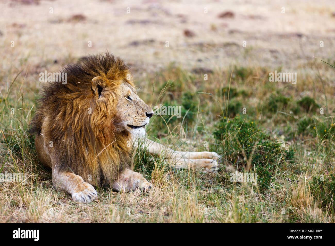 León macho tumbado en la hierba en la sabana de África Imagen De Stock