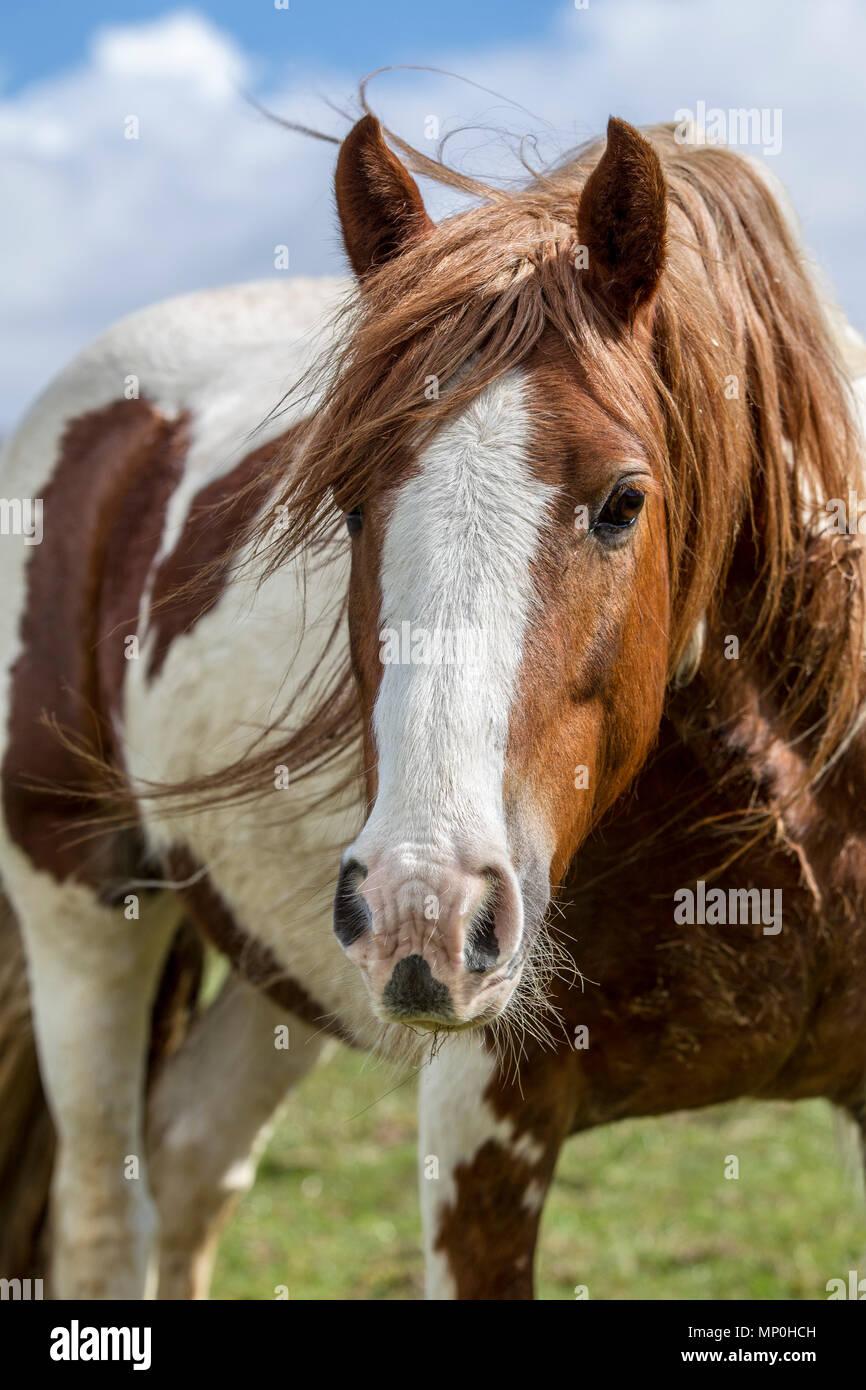 En el campo de pastoreo de caballos Imagen De Stock