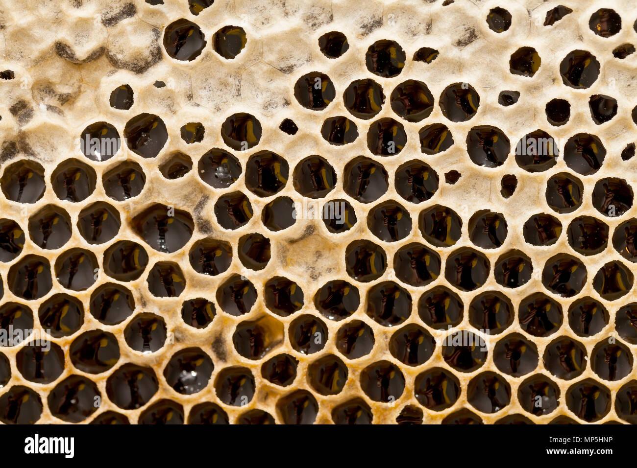 Panal de colmena llena de miel. Cera de abejas orgánica. Textura hexagonal. Macro Foto de stock