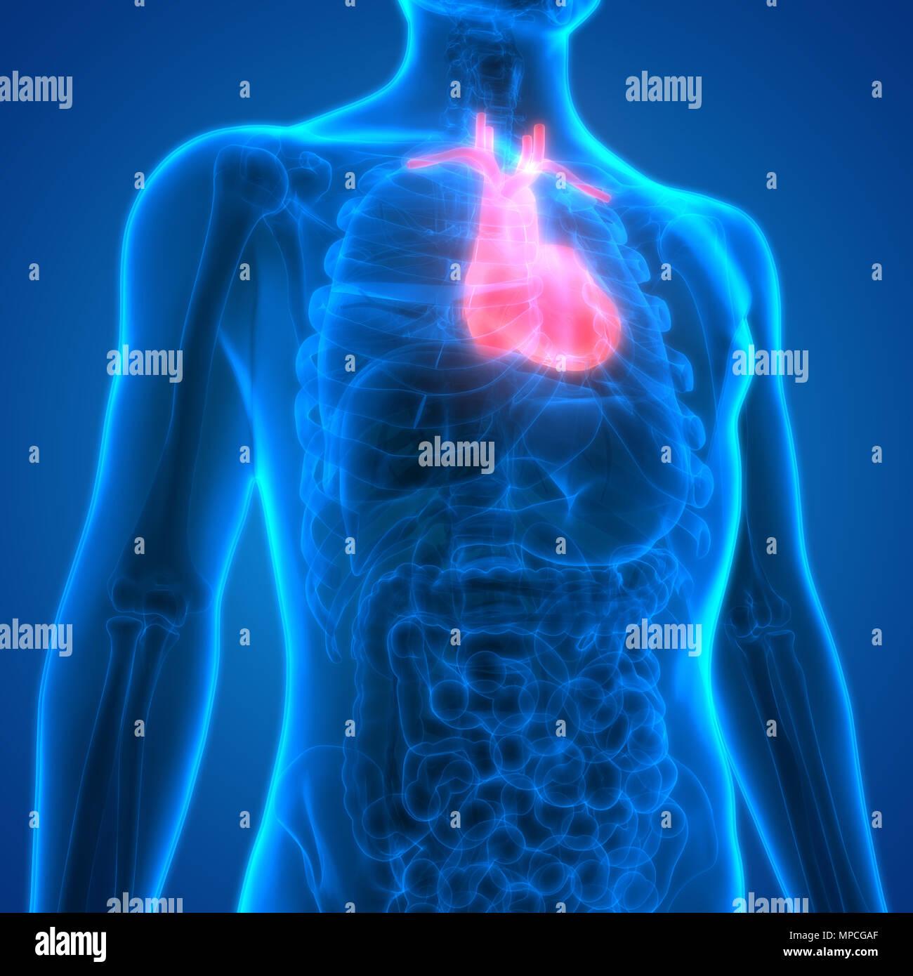 Atractivo Diagrama No Marcado Del Esqueleto Humano Foto - Anatomía ...
