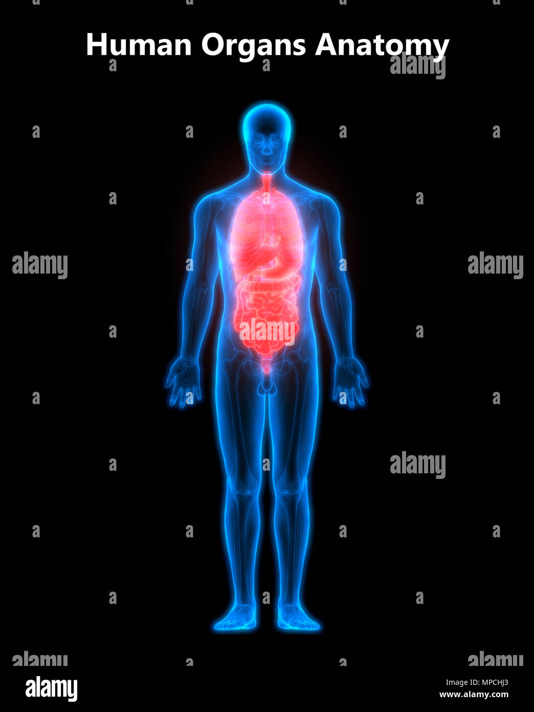 Anatomía de los órganos del cuerpo humano Foto & Imagen De Stock ...