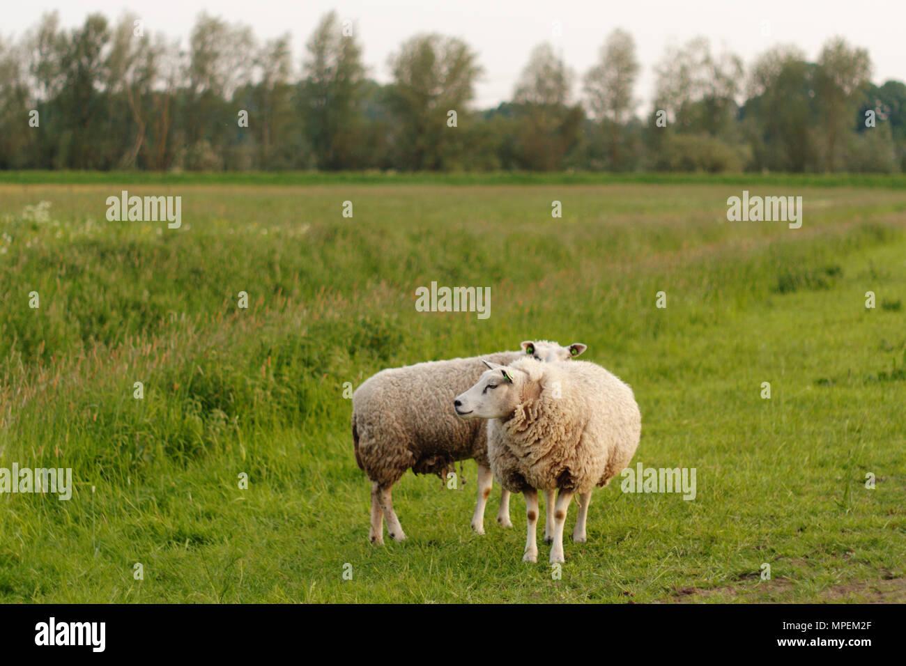Dos ovejas de pie en un campo buscando lejos de la cámara. Imagen De Stock