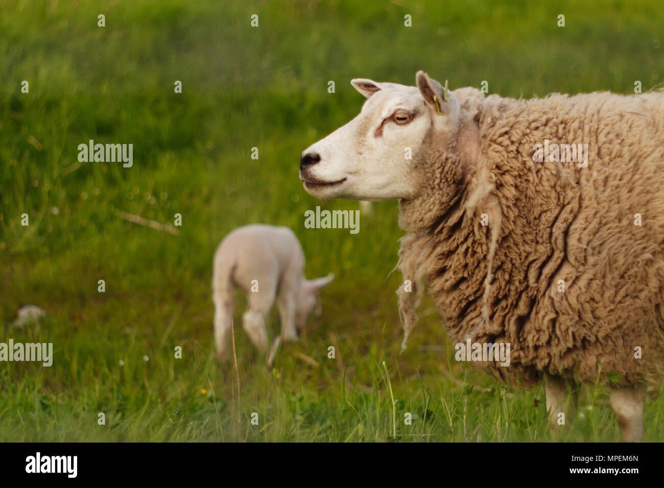Vista lateral de una oveja, su cordero es el pastoreo en el fondo. Imagen De Stock