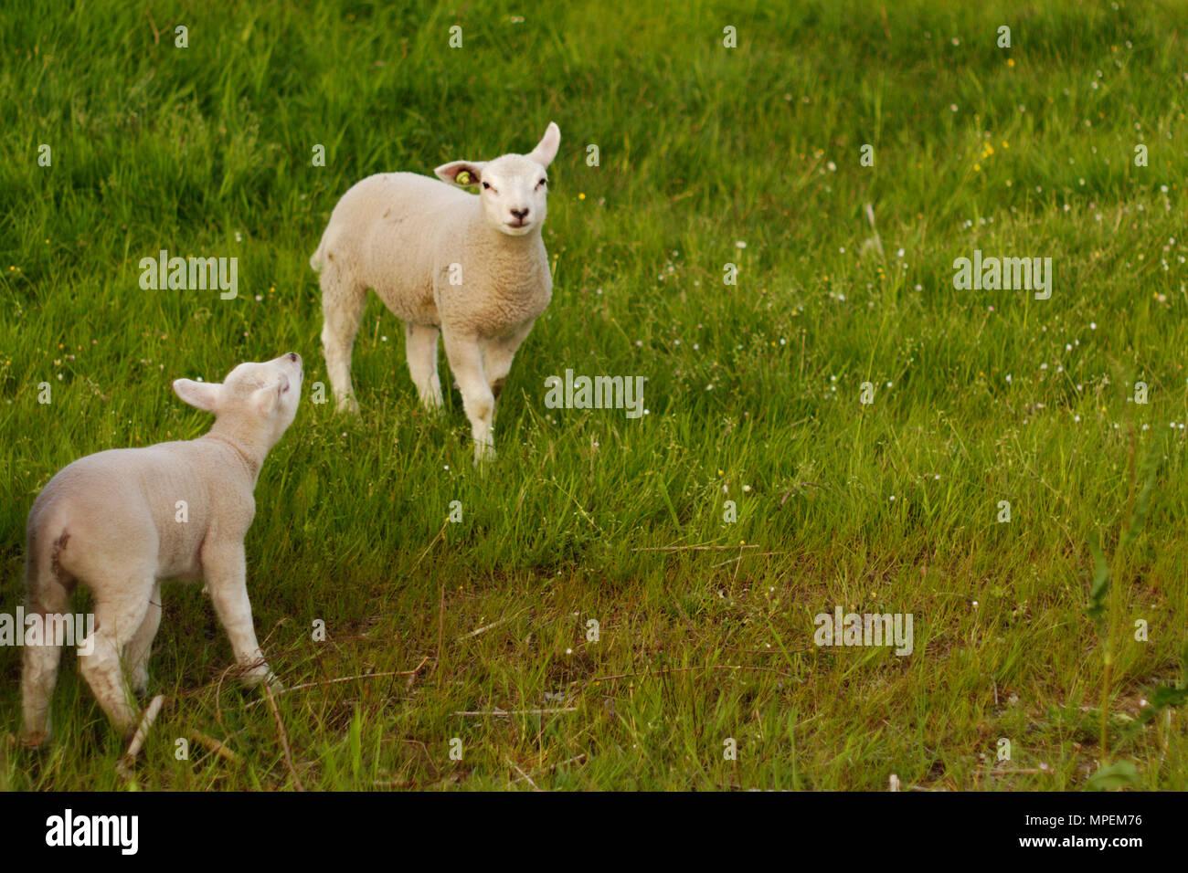 Dos corderos saltaría fuera en el campo. Imagen De Stock