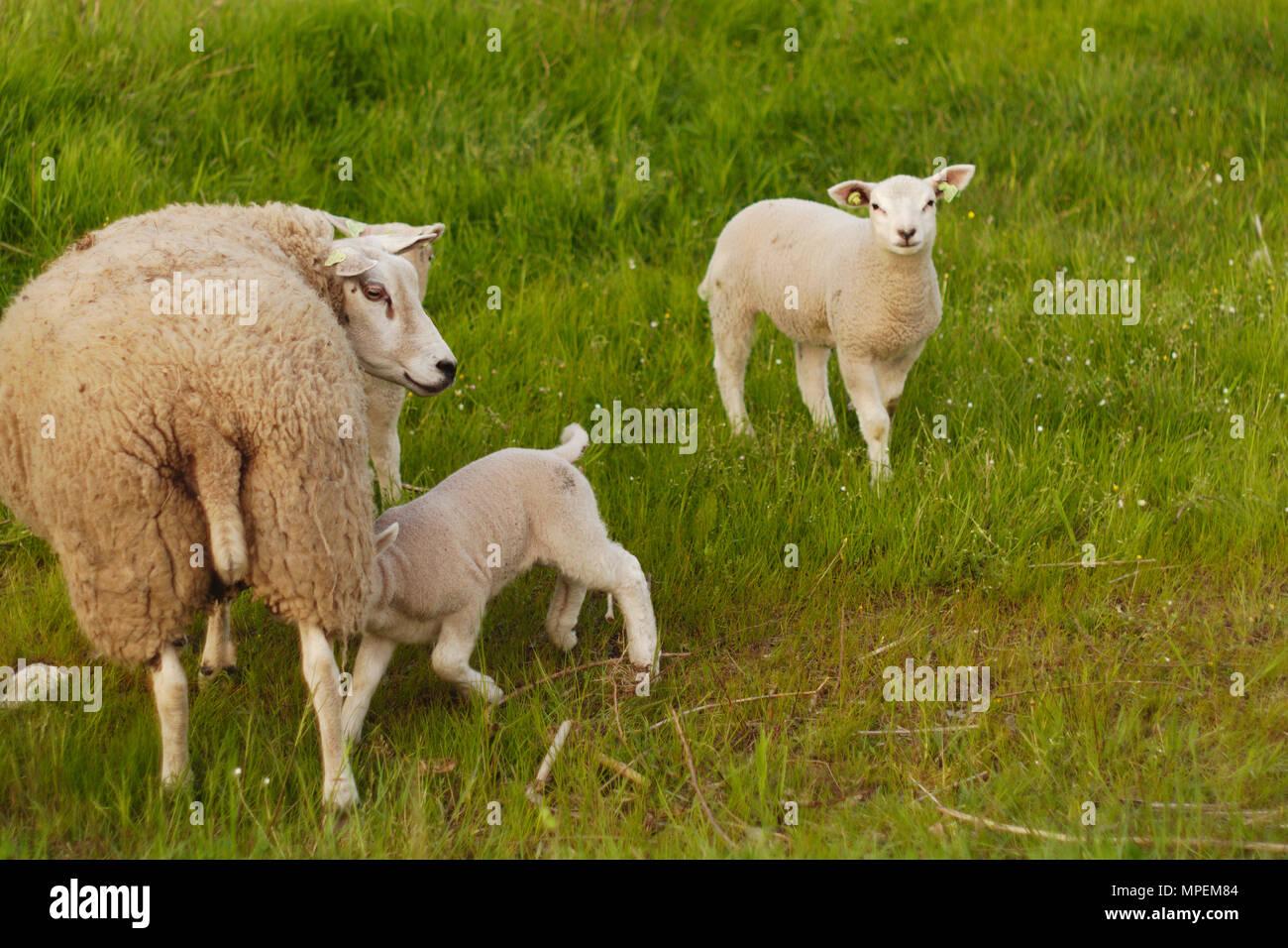 Un cordero alimentación con su madre en un campo con otro cordero mirando a la cámara. Imagen De Stock