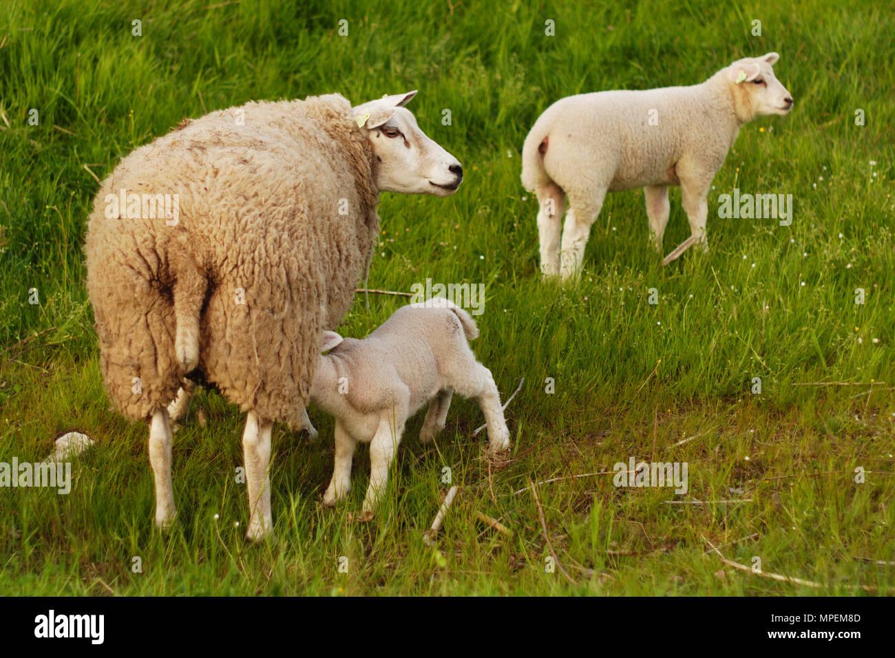 Una oveja con sus dos corderos. Uno de los corderos es potable. Imagen De Stock