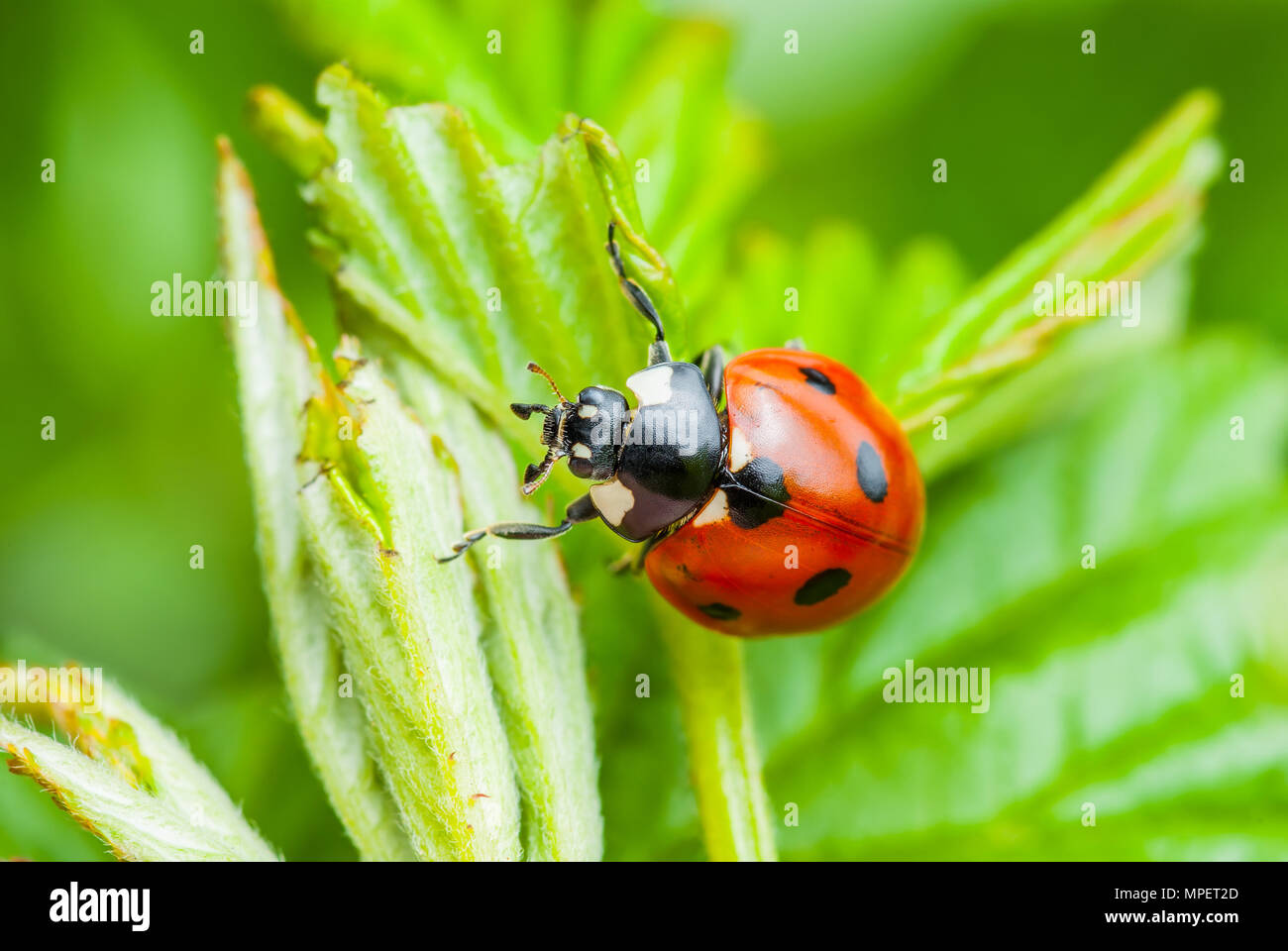 Ladybug insecto en la hoja macro Foto de stock