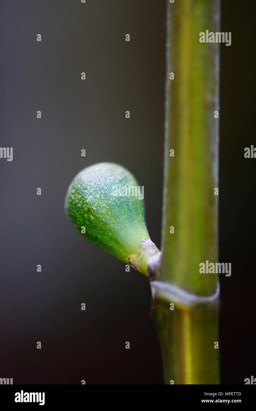 Primer plano de un desarrollo de higuera verde pequeña fruta en una sucursal Imagen De Stock