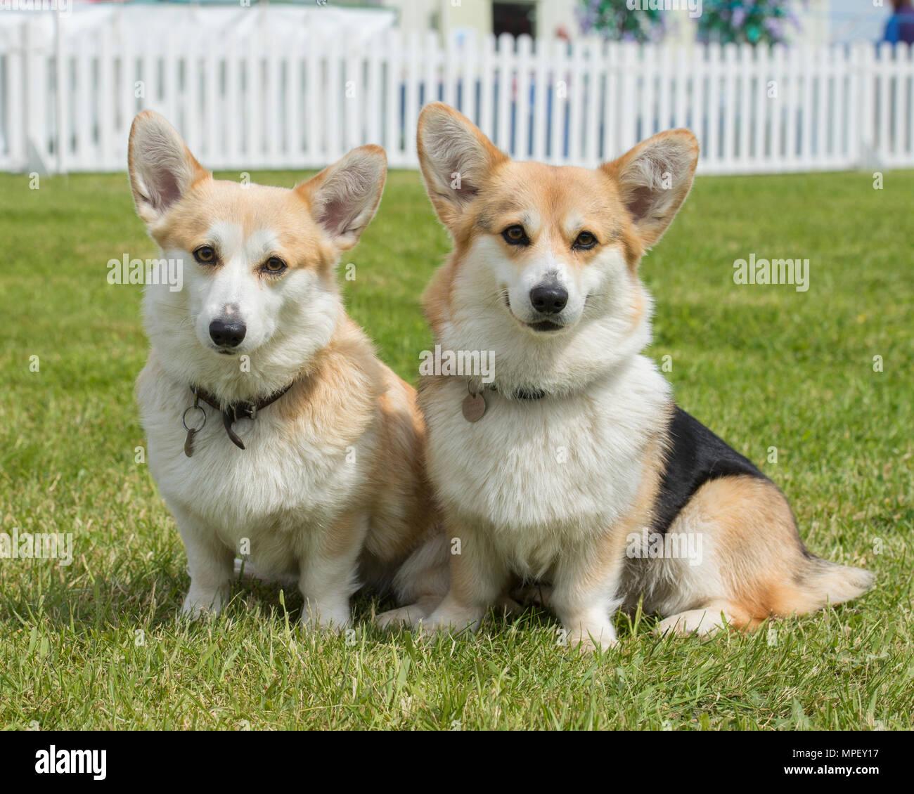 Dos perros corgi Pembroke Foto de stock