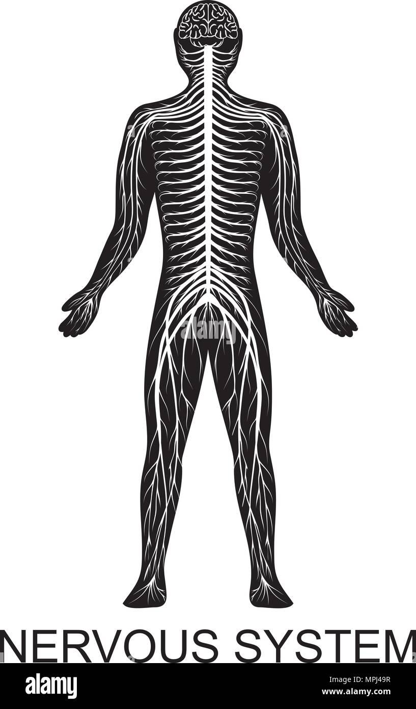 Ilustración De La Estructura Del Sistema Nervioso Humano