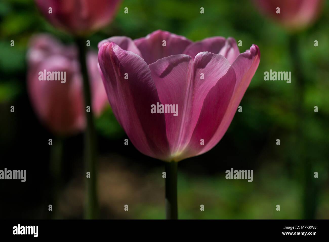 'Amor' ynaeda tulipán (Tulipa ynaeda 'amor') en flor en primavera Foto de stock