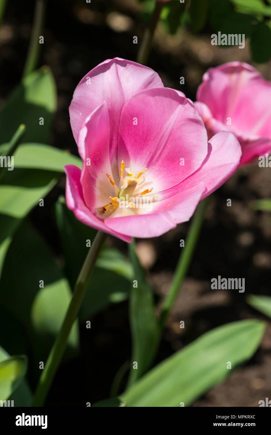 'Amor' ynaeda tulipán (Tulipa ynaeda 'amor') en flor en primavera Imagen De Stock