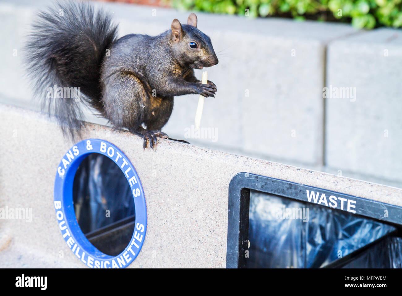 Toronto, Canadá Ontario Bremner Boulevard papelera residuos Ardilla negra Sciuridae roedor animal comiendo papas fritas de supervivencia urbana Imagen De Stock