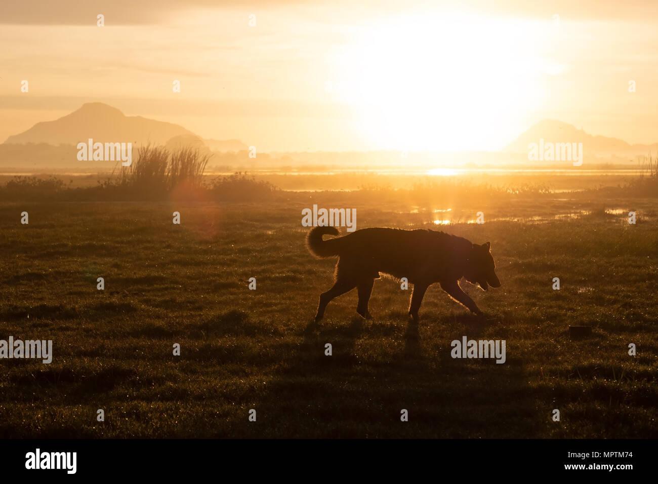Pastor Alemán caminar en las primeras horas de la mañana en verano en el prado. Imagen De Stock