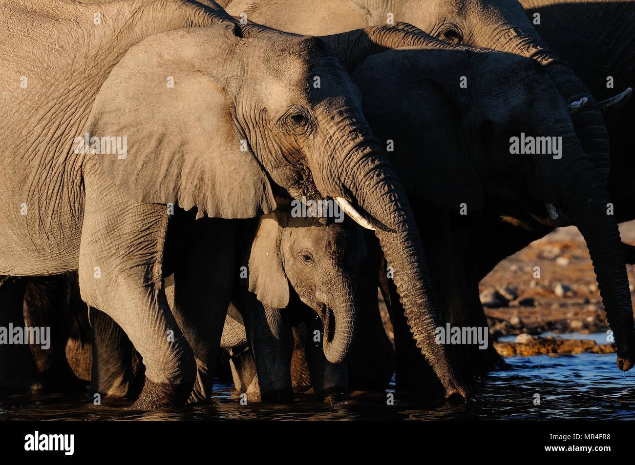 Manada de elefantes africanos de ternera en un abrevadero, parque nacional de Etosha, Namibia, (loxodonta africana) Foto de stock