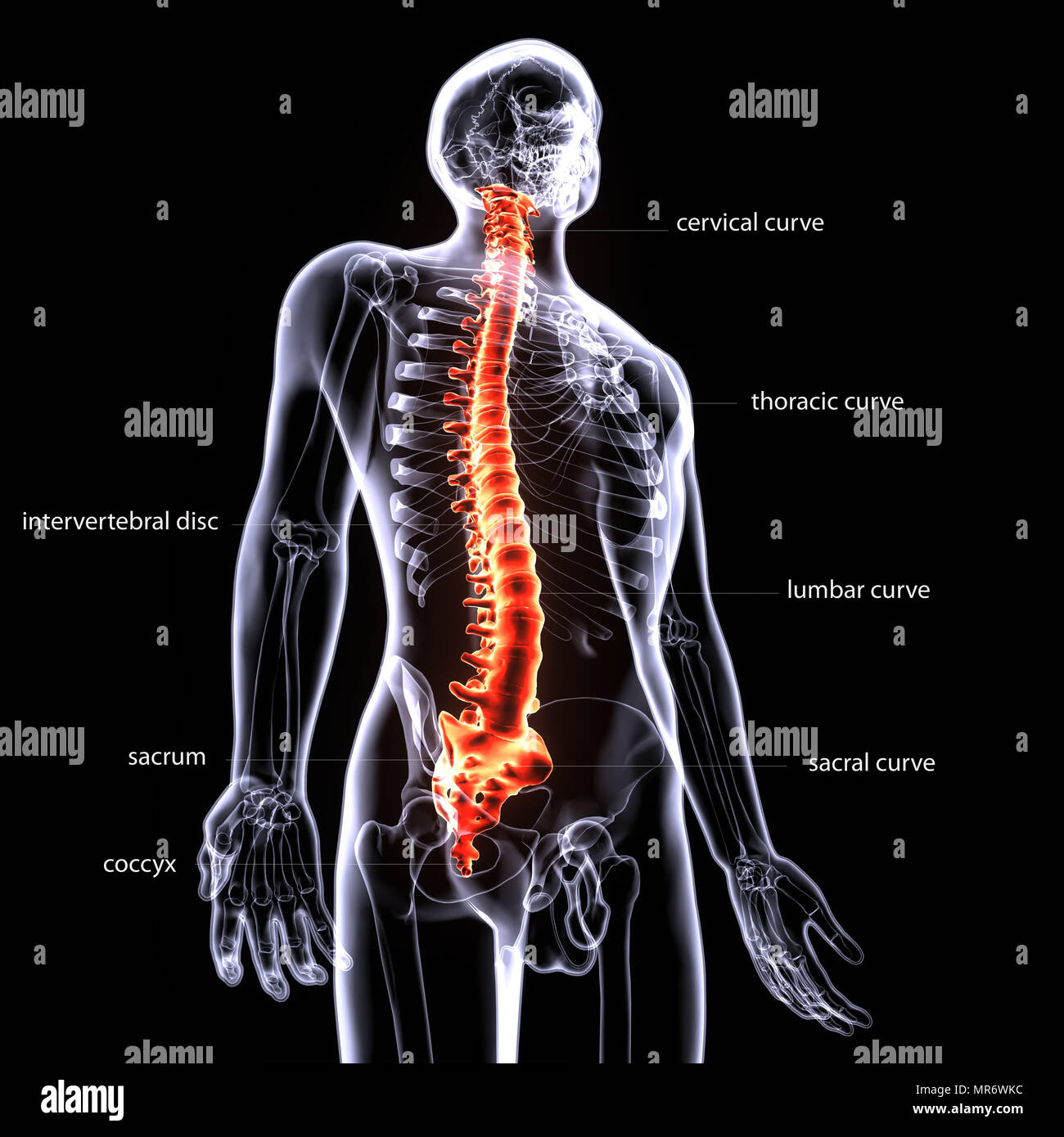 Ilustración 3d del cuerpo humano el hueso vertebral y Anatomía del ...