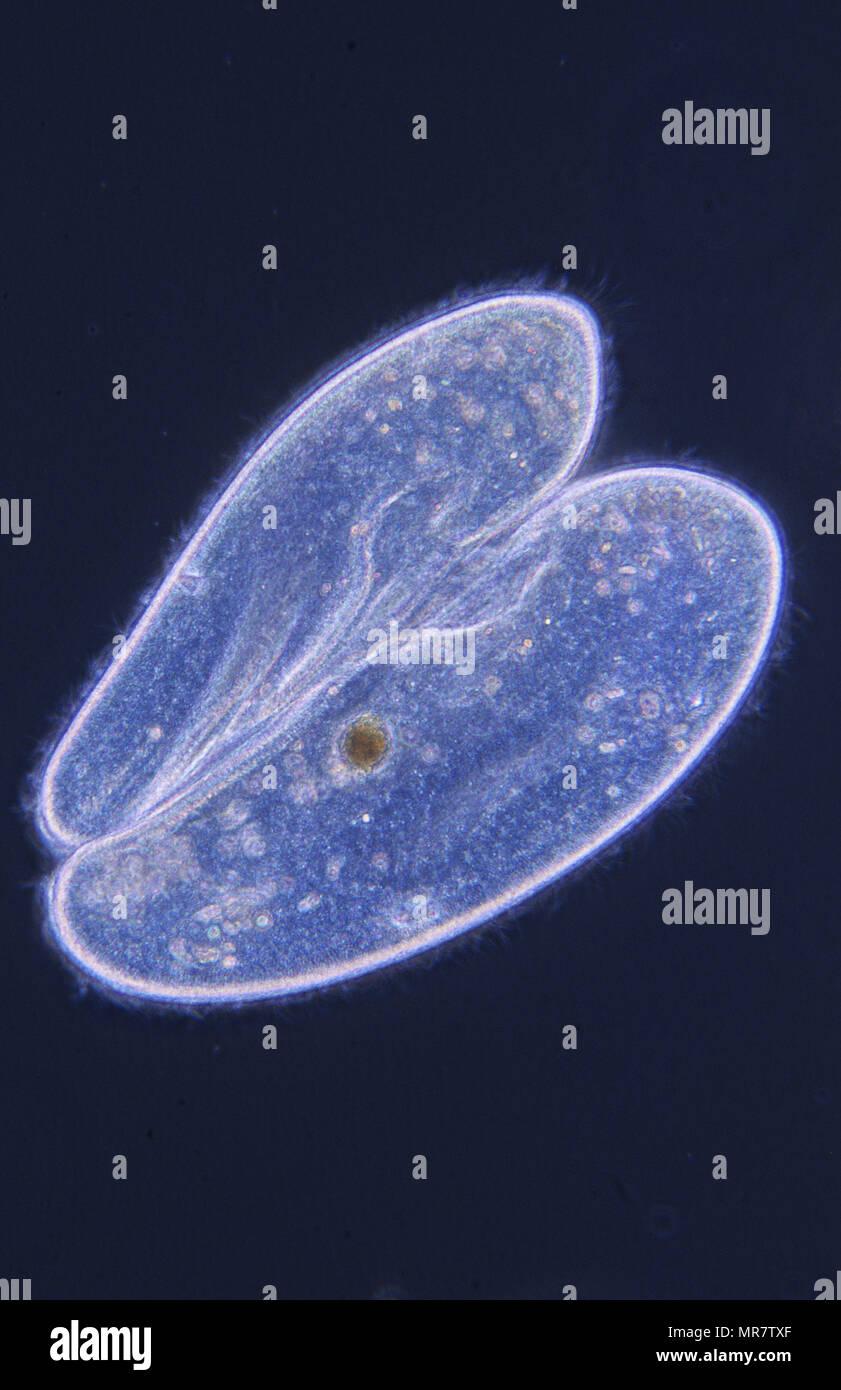 Conjugación.La división celular.paramecio. Ciliata.protozoo.microscopia óptica Foto de stock