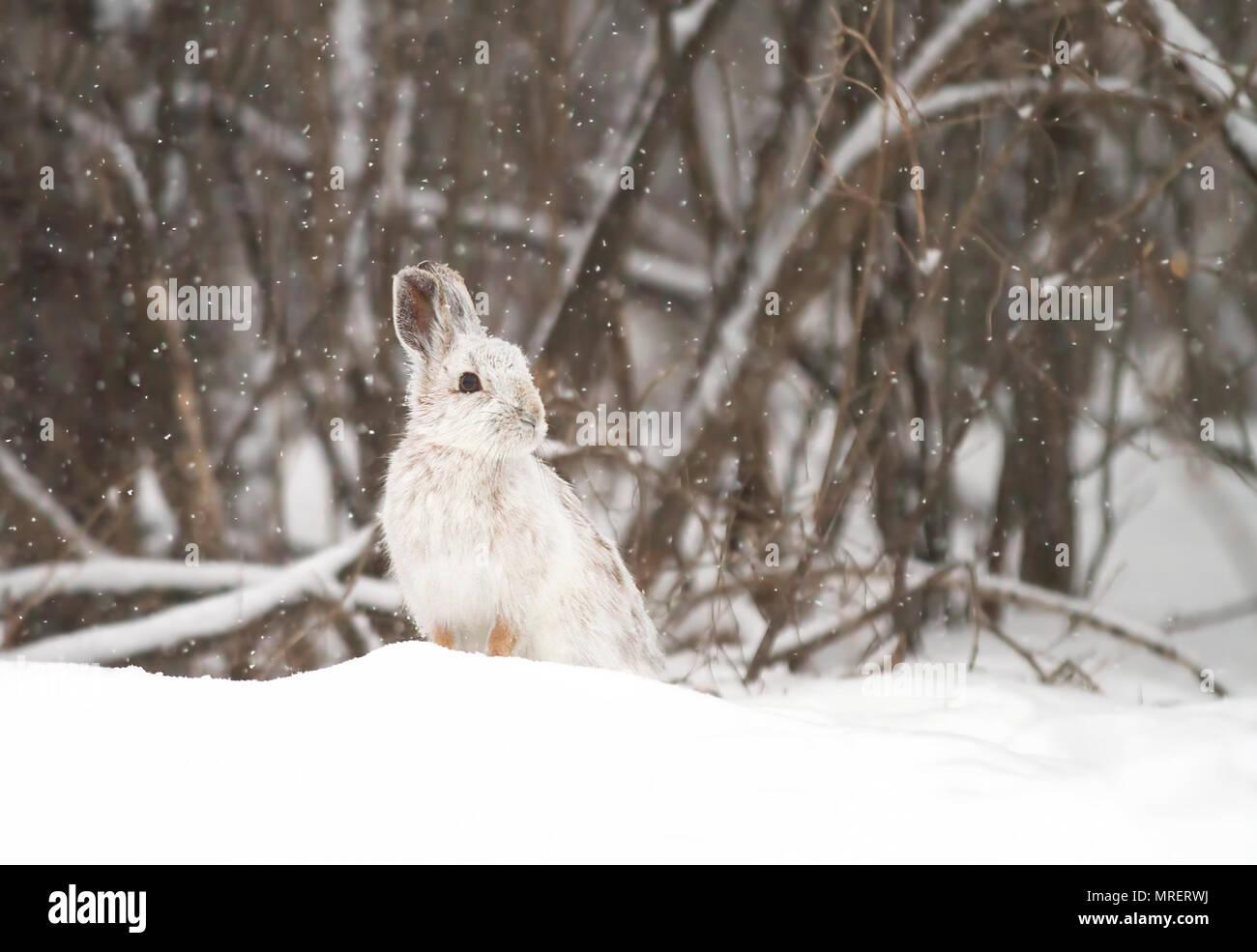 Snowshoe hare o variando la liebre (Lepus americanus) de pie en la nieve con una bata blanca en invierno en Canadá Imagen De Stock