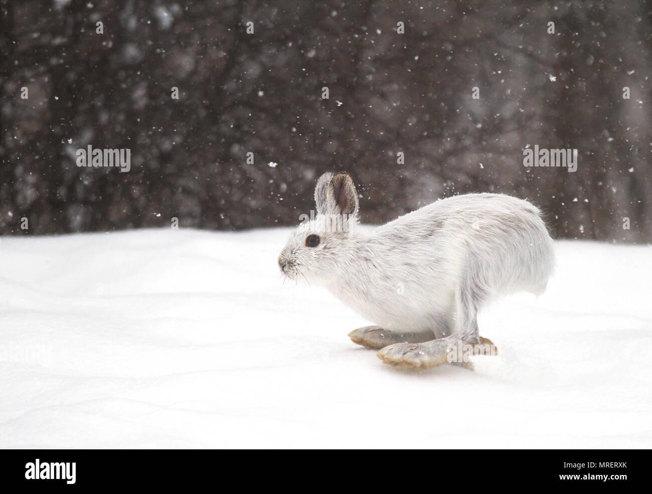 Snowshoe hare o variando la liebre (Lepus americanus) que se ejecuta en la nieve con una bata blanca en invierno en Canadá Imagen De Stock