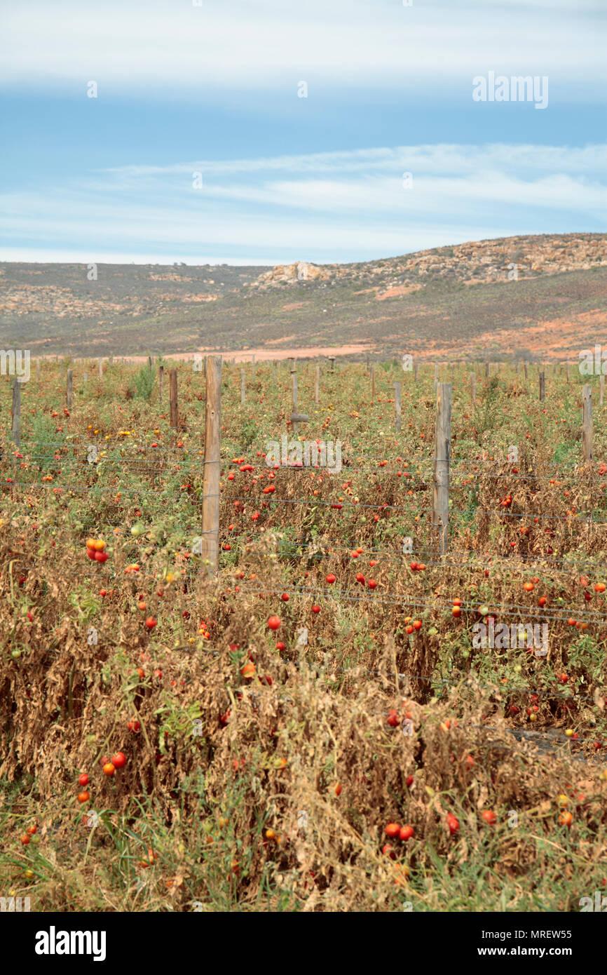Cultivo de tomate afectados por la sequía, cerca de Klawer, Western Cape, Sudáfrica. Imagen De Stock