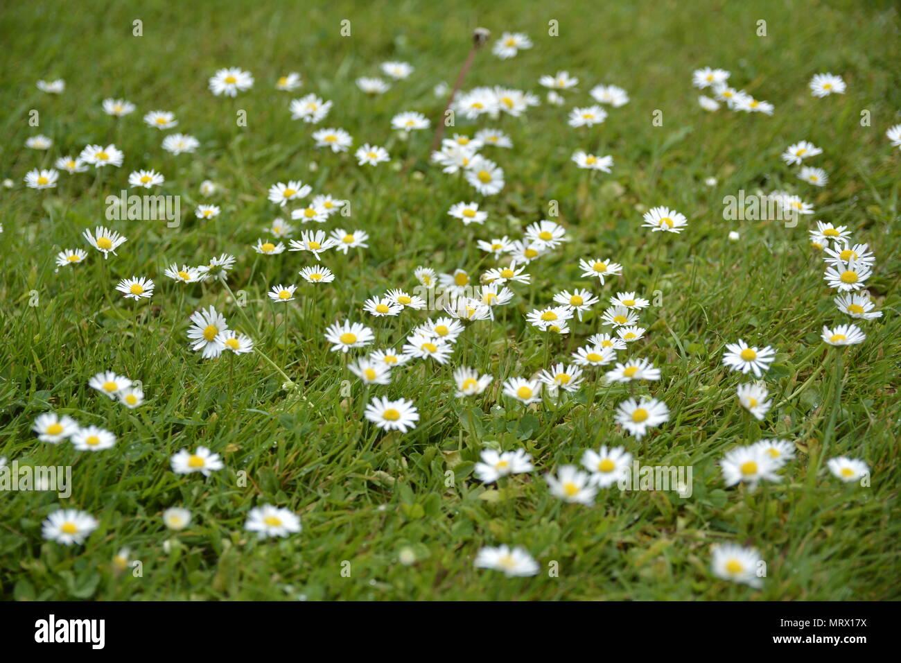Parche de margaritas, común Canons Ashby House, Northamptonshire Imagen De Stock