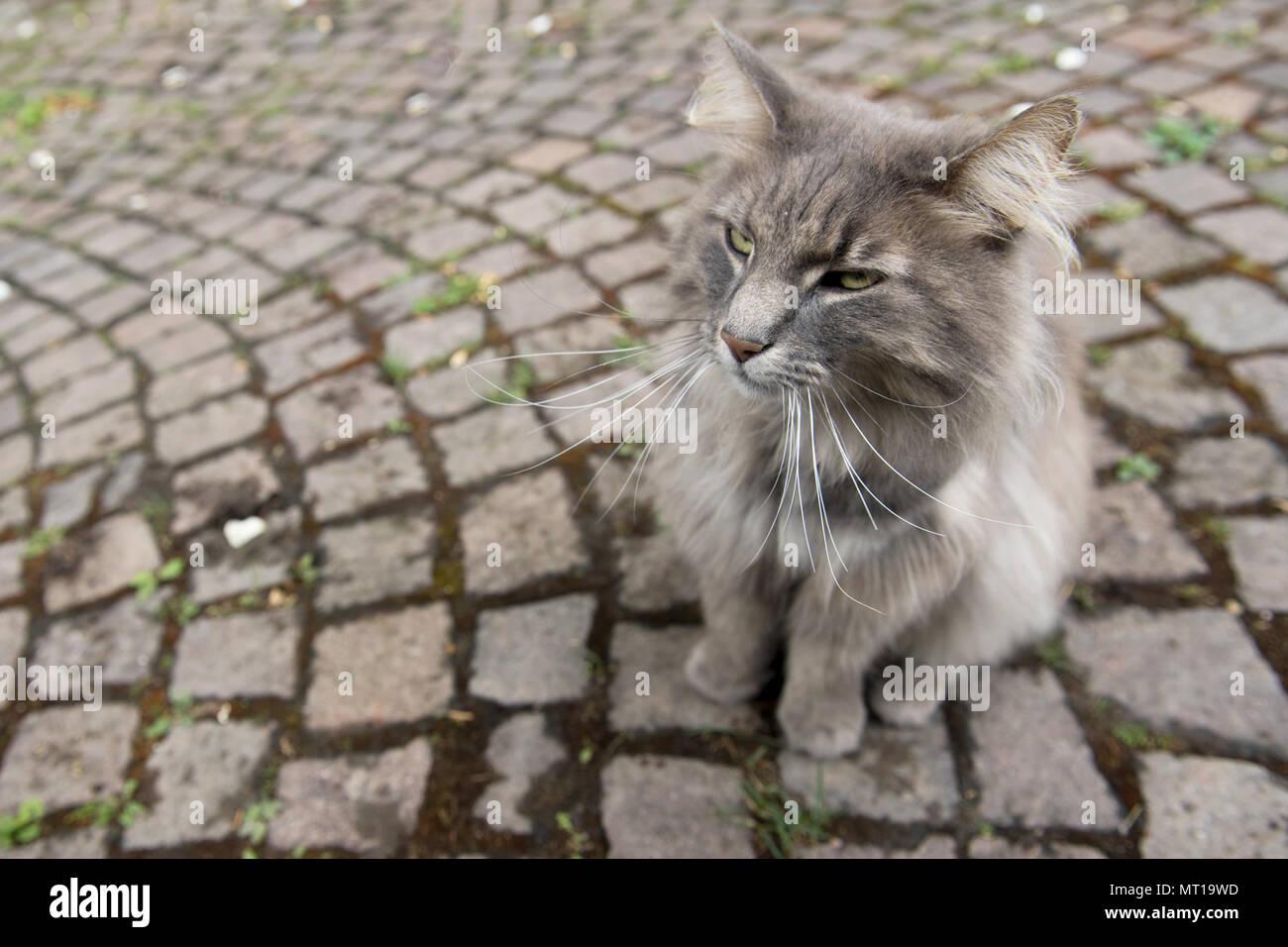 Un alto ángulo de visualización de gris gato sentado en la acera, Heidelberg, Alemania Imagen De Stock