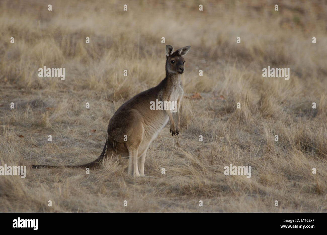 Canguro gris occidental, Australia Occidental Imagen De Stock