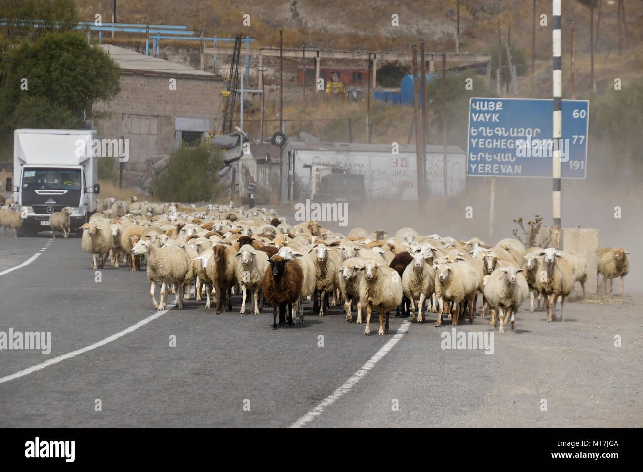 SISIAN, Armenia, 27 de septiembre de 2017. Un rebaño de ovejas bloquea el tráfico como camina pasado un signo de distancia bilingües en la carretera a través de la ciudad. Foto de stock