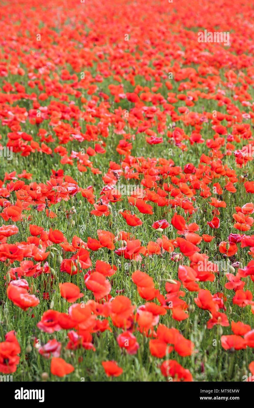 Campo de Flores de amapola Imagen De Stock