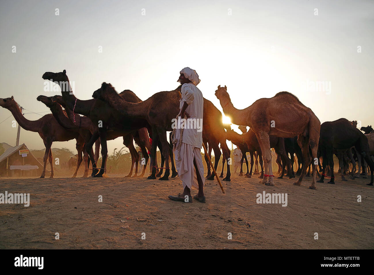 El concesionario no identificados en el mercado de camellos más grande del mundo Pushkar mela en Rajasthan, India Foto de stock