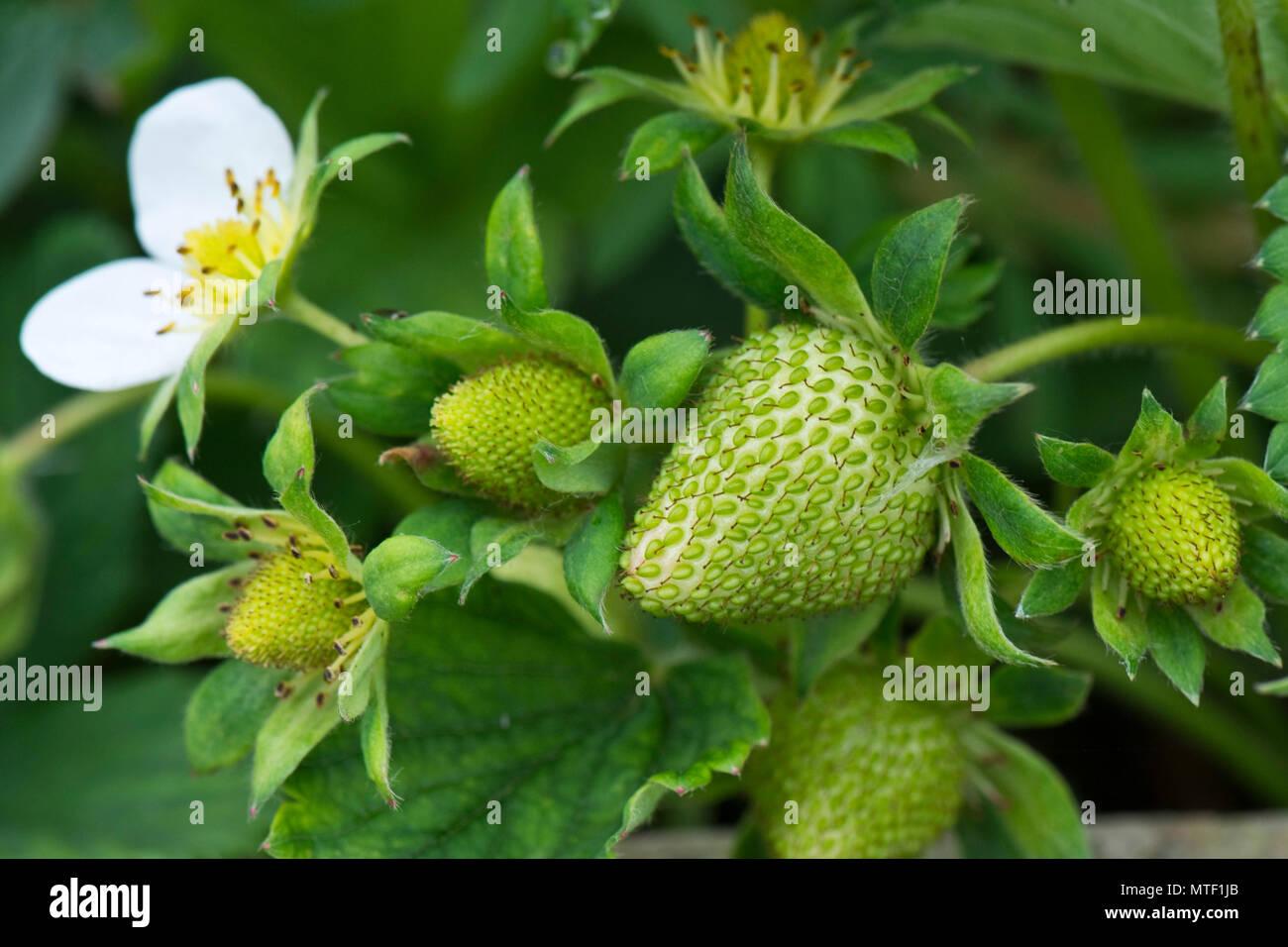 Flores y fresas verdes verdes con frutos de diversos tamaños y etapas de desarrollo entre hojas Imagen De Stock